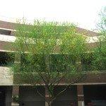 ASU Courtyard Palo verde2