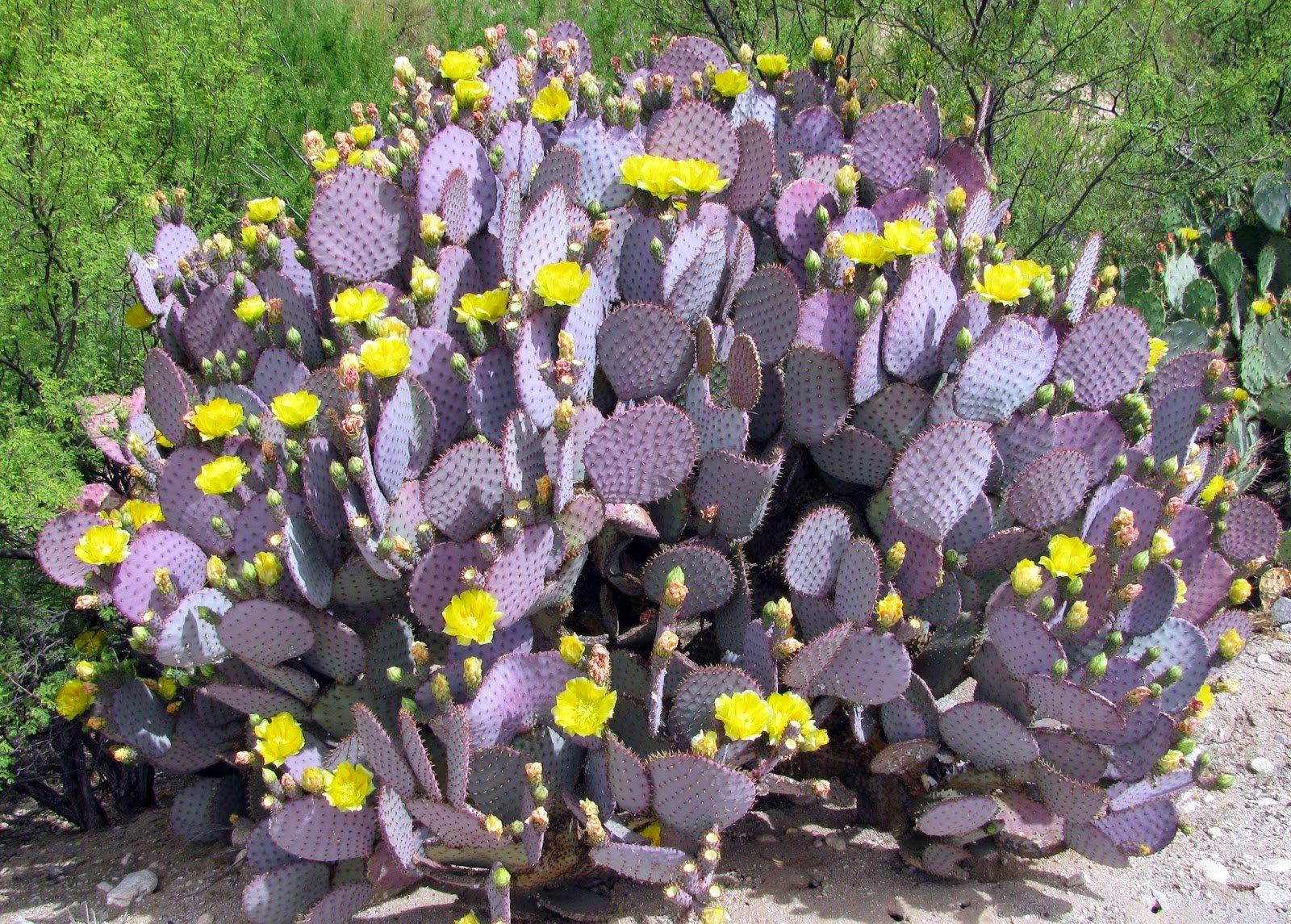 Purple Prickly Pear Cactus - Victors Landscaping