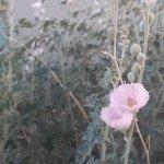 pink-globe-mallow-arizona