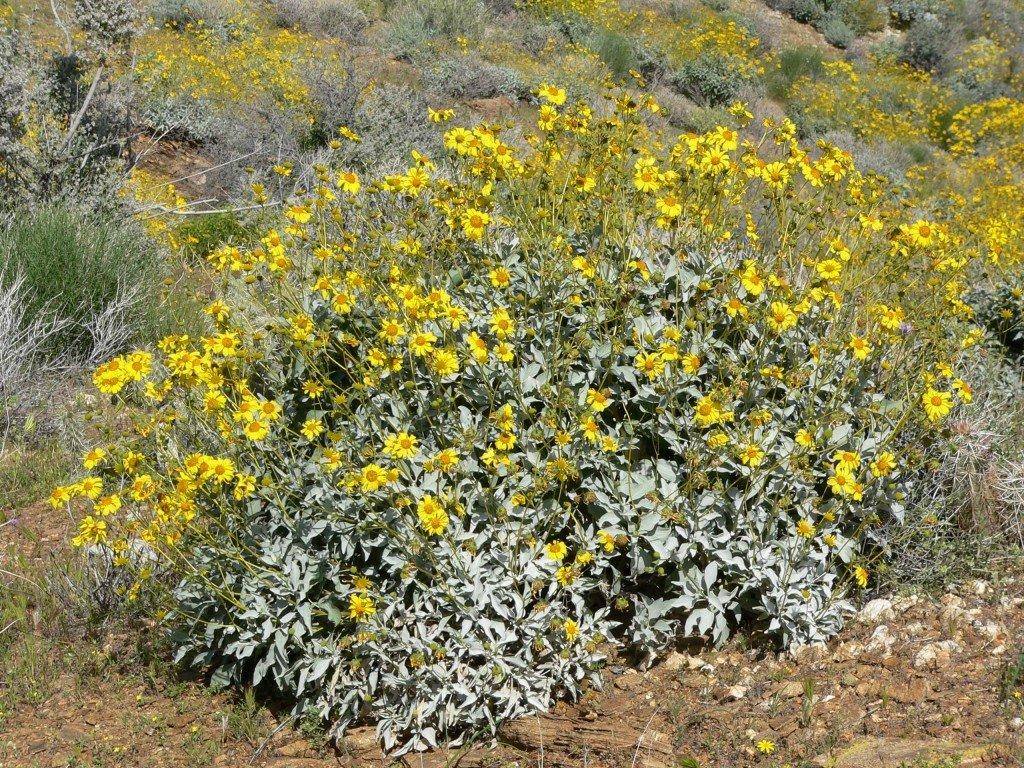 brittlebush-growing-wild